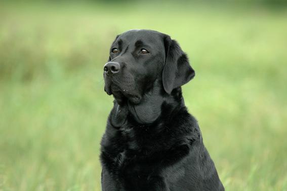 Labrador Showlinie Arbeitslinie